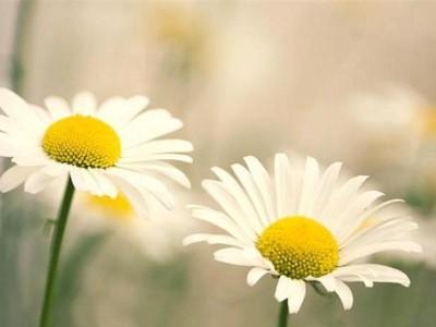 Shasta_daisy_Leucanthemum_Filigran_flowers_F0010247