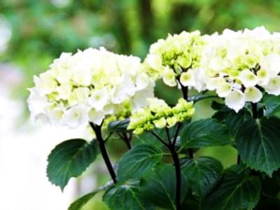 hydrangea_macrophylla_zebra__pp_18,688_conceptplants